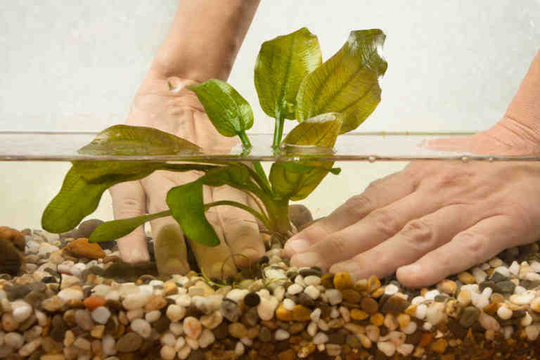 Comment planter des plantes d'aquarium?